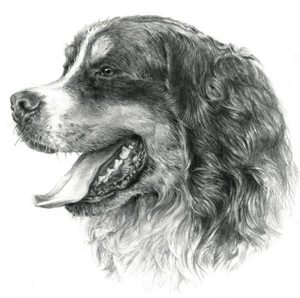 BERNESE MOUNTAIN DOG 01 - Rysunek