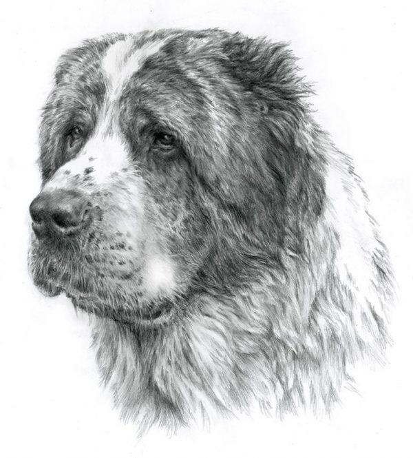 CENTRAL ASIA SHEPHERD DOG 01 - Rysunek