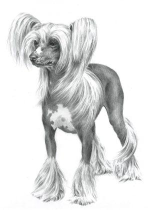 CHINESE CRESTED DOG 03 - Rysunek