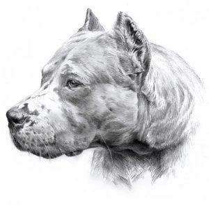 DOGO ARGENTINO 01 - Rysunek