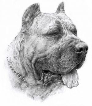 DOGO CANARIO 01 - Rysunek