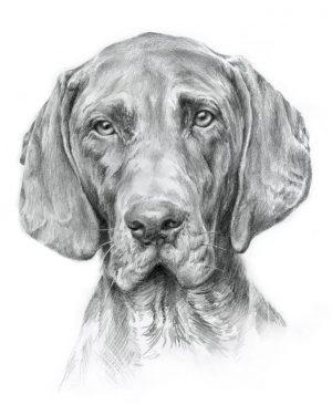 GERMAN POINTING DOG 01 - Rysunek