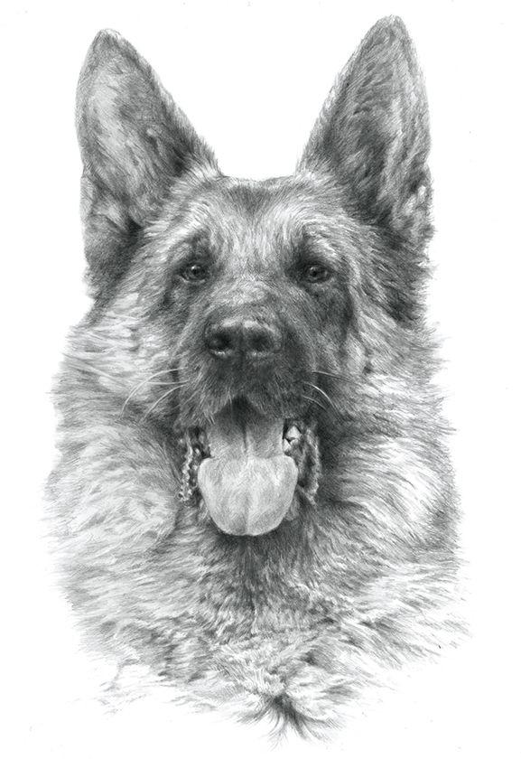 GERMAN SHEPHERD 02 - Rysunek