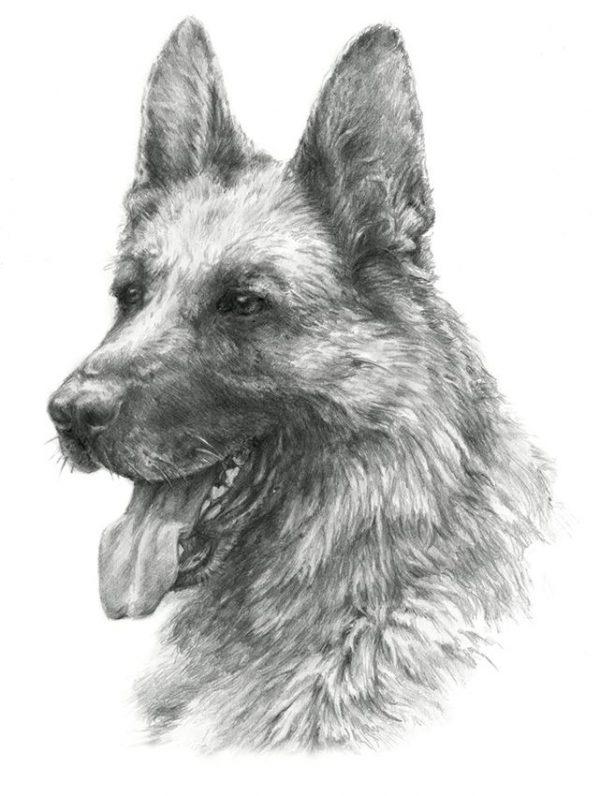 GERMAN SHEPHERD 04 - Rysunek