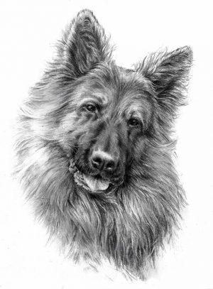 GERMAN SHEPHERD LONG-HAIRED 01 - Rysunek