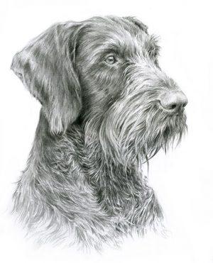 GERMAN WIRE-HAIREG POINTING DOG 01 - Rysunek