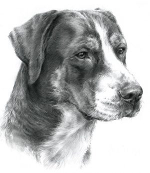 GREAT SWISS MOUNTAIN DOG BITH 01 - Rysunek