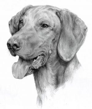 HUNGARIAN SHORT HAIRED POINTING DOG 01 - Rysunek