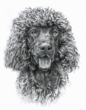 IRISH WATER DOG 01 - Rysunek