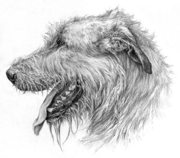 IRISH WOLFHOUND 01 - Rysunek
