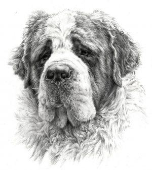 SAINT BERNARD DOG 01 - Rysunek