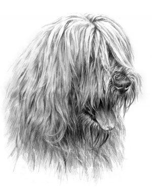 SOUTH RUSSIAN SHEPHERD DOG 02 - Rysunek
