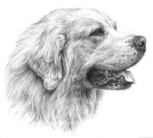 TATRA SHEPHERD DOG 01 - Rysunek