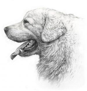 TATRA SHEPHERD DOG 03 - Rysunek