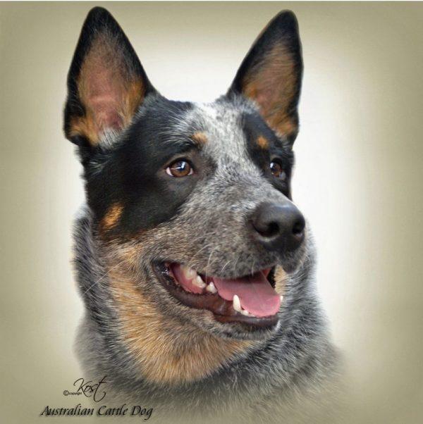 AUSTRALIAN CATTLE DOG 01 - Zdjęcie