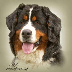 BERNESE MOUNTAIN DOG 01 - Zdjęcie