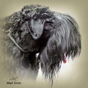 BLACK TERRIER 01 - Zdjęcie