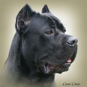 CANE CORSO 03 - Zdjęcie