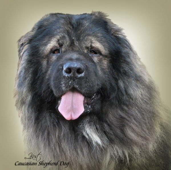 CAUCASIAN SHEPHERD DOG 02 - Zdjęcie