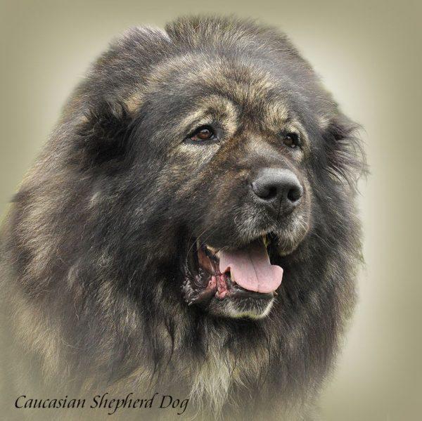 CAUCASIAN SHEPHERD DOG 03 - Zdjęcie