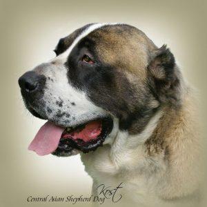 CENTRAL ASIAN SHEPHERD DOG 01 - Zdjęcie