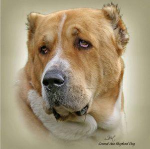 CENTRAL ASIAN SHEPHERD DOG 02 - Zdjęcie