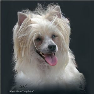CHINESE CRESTED DOG 01 - Zdjęcie