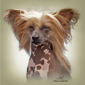 CHINESE CRESTED DOG 02 - Zdjęcie