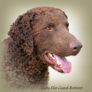 CURLY FLAT COATED RETRIEVER 01 - Zdjęcie