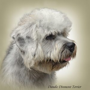 DANDIE DINMONT TERRIER 01 - Zdjęcie