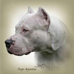 DOGO ARGENTINO 01 - Zdjęcie