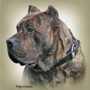 DOGO CANARIO 01 - Zdjęcie