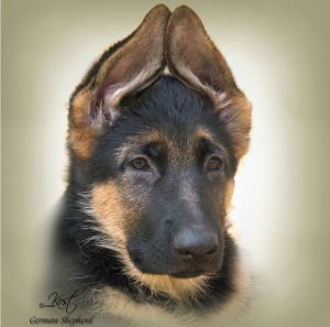 GERMAN SHEPHERD DOG 01 - Zdjęcie