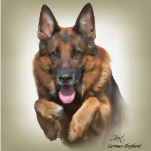GERMAN SHEPHERD DOG 03 - Zdjęcie