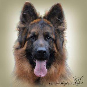 GERMAN SHEPHERD DOG LONG-HAIRED 01 - Zdjęcie