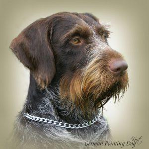 GERMAN WIRE-HAIRED POINTING DOG 02 - Zdjęcie