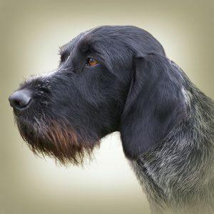 GERMAN WIRE-HAIREG POINTING DOG 01 - Zdjęcie