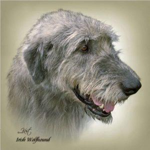 IRISH WOLFHOUND 01 - Zdjęcie