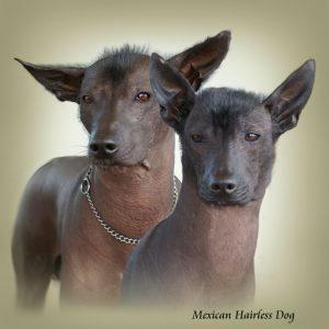MEXICAN HAIRLESS DOG 01 - Zdjęcie