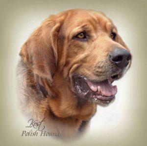 POLISH HUNTING DOG 02 - Zdjęcie