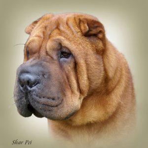 SHAR PEI 02 - Zdjęcie