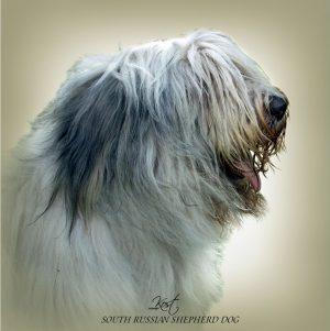 SOUTH RUSSIAN SHEPHERD DOG 01 - Zdjęcie