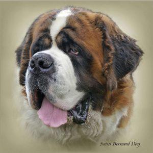 ST BERNARD DOG 01 - Zdjęcie