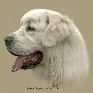 TATRA SHEPHERD DOG 01 - Zdjęcie