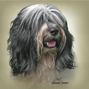 TIBETAN TERRIER 01 - Zdjęcie