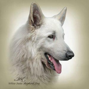 WHITE SWISS SHEPHERD DOG 01 - Zdjęcie