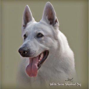 WHITE SWISS SHEPHERD DOG 02 - Zdjęcie