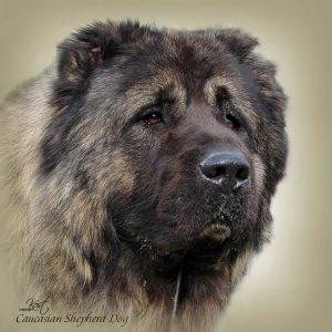 CAUCASIAN SHEPHERD DOG 04 - Zdjęcie