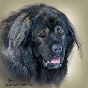 CAUCASIAN SHEPHERD DOG 06 - Zdjęcie
