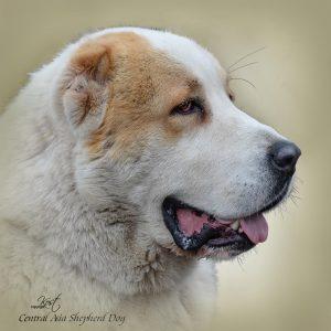 CENTRAL ASIA SHEPHERD DOG 03 - Zdjęcie
